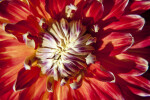 """Akita"" Dahlia Flower Close-Up"