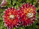 """""""Akita"""" Dahlia Flowers"""