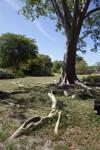 Albizia niopoides var. niopoides Roots