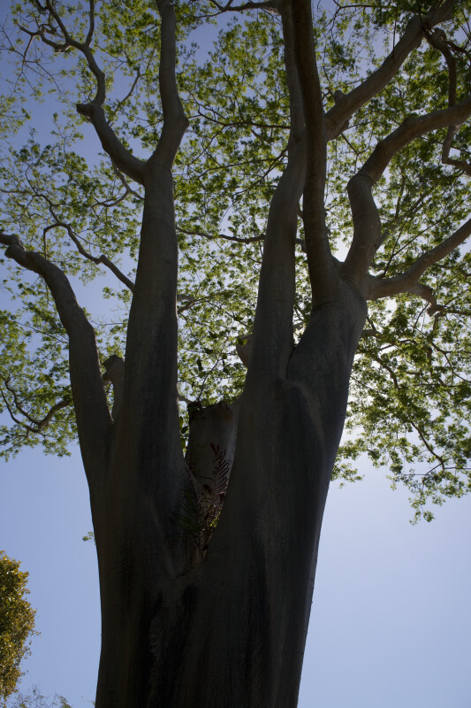 Albizia niopoides var. niopoides Tree