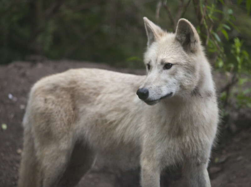 Alert Arctic Wolf at the Artis Royal Zoo