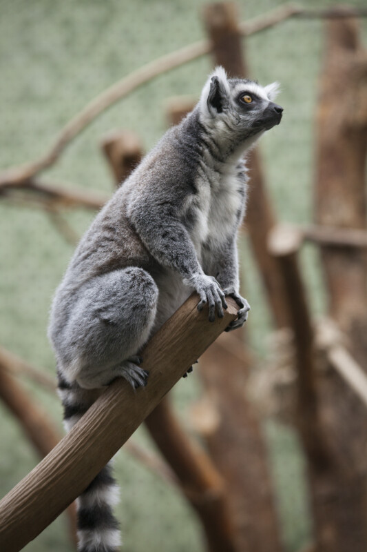 Alert Ring-Tailed Lemur
