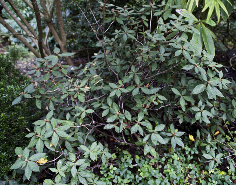 """Alfred Martin"" Rhododendron Branches"