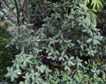 """""""Alfred Martin"""" Rhododendron Branches"""