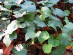 Algerian Ivy at Kanapaha