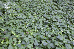 Algerian Ivy Groundcover at the Kanapaha Botanical Gardens