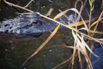 Alligator and Vegetation