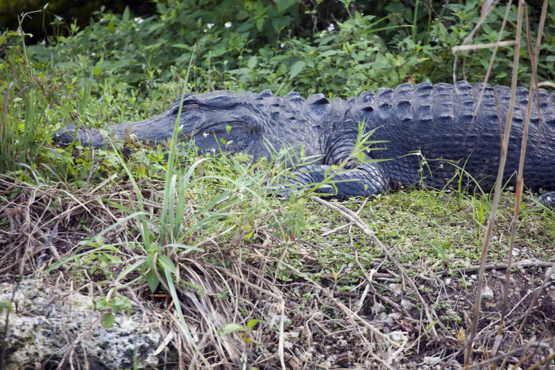 Alligator at Anhinga Trail
