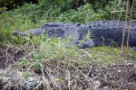 Alligator at Anhinga Trail