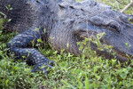Alligator at Rest