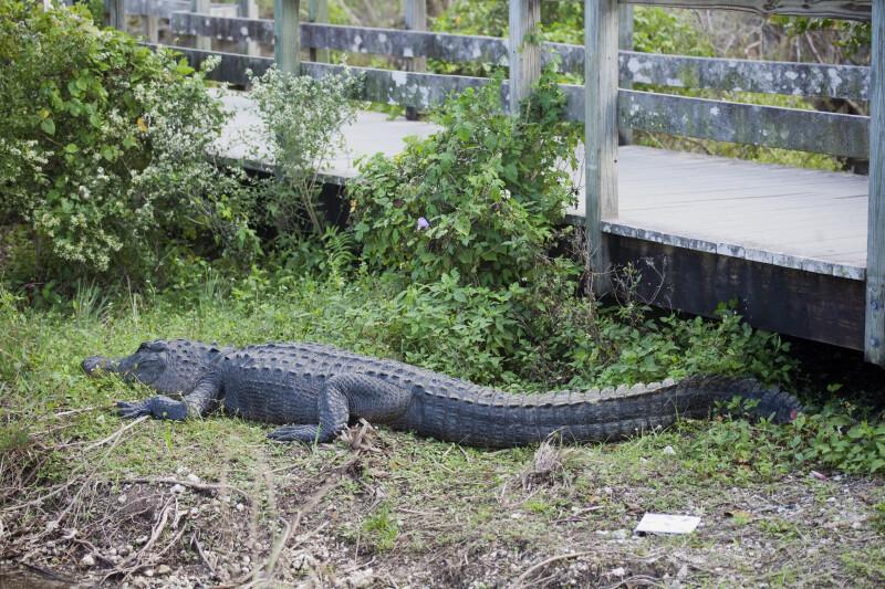 Alligator by Boardwalk