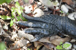 Alligator Claws
