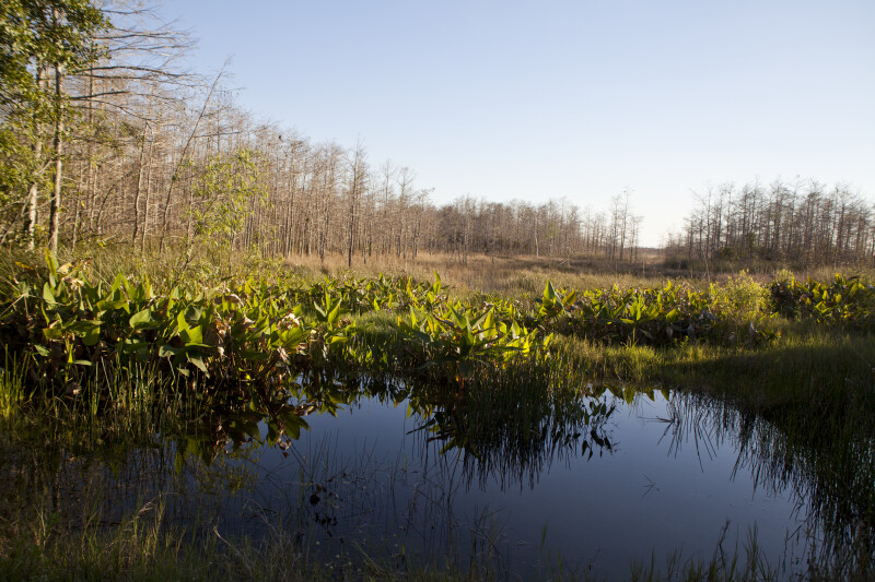Alligator Flags, Water, and Dwarf Bald Cypress Trees