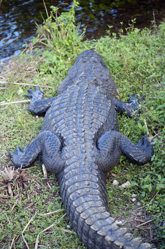 Alligator from Behind