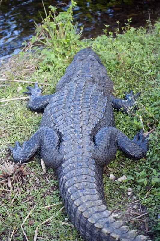 Alligator from Behind