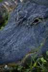 Alligator Head Close-Up