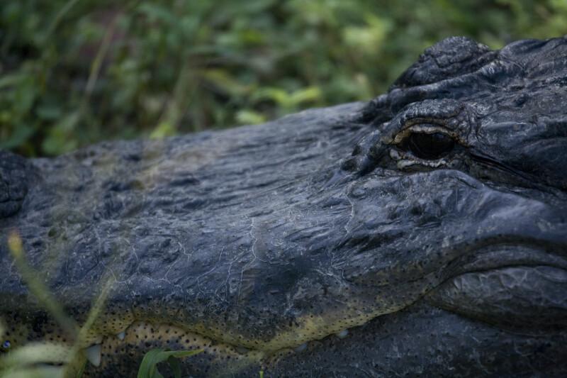 Alligator Head Detail