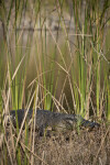 Alligator in Cattails