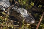 Alligator in Water