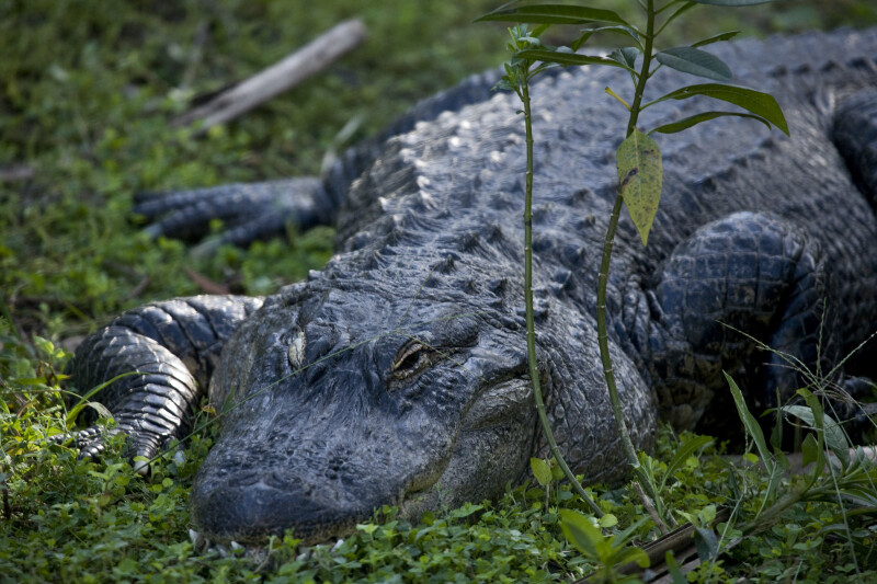 Alligator Laying in Grass