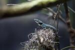 Alligator Lizard on Moss