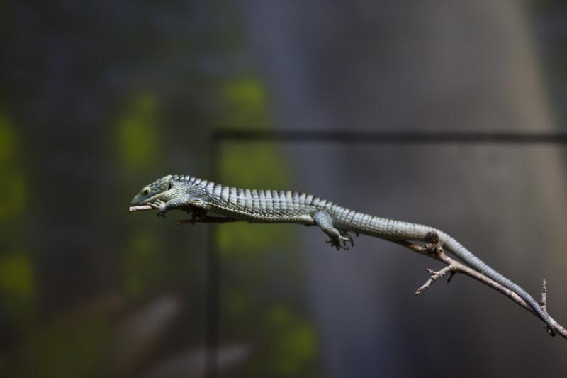 Alligator Lizard on Twig