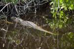 Alligator Near Shore
