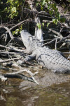 Alligator on the Shore