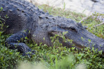 Alligator Sleeping