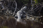 Alligator Sunning at Buttonwood Canal