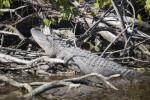 Alligator Sunning