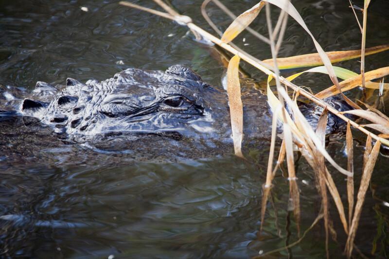 Alligator Swimming at Anhinga Trail