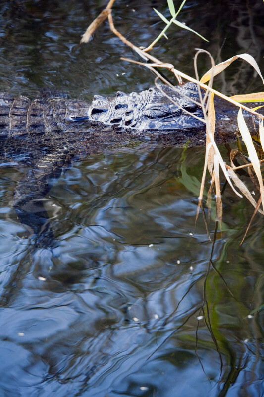 Alligator Swimming Behind Vegetation
