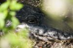 Alligator's Head