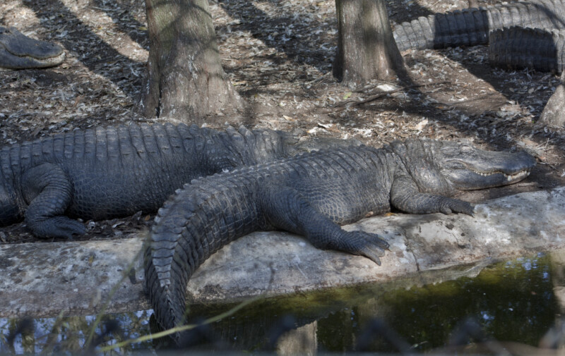 Alligators Napping