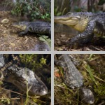 Alligators photographs