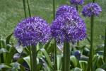 Allium Flower Blossom