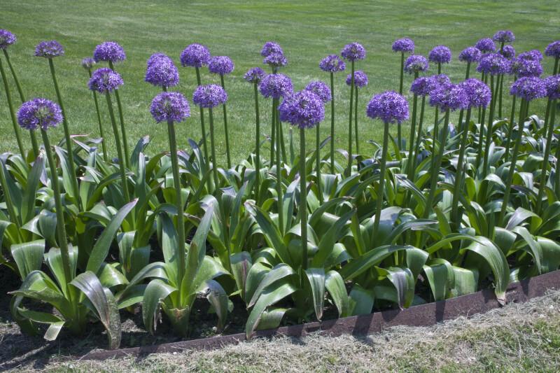 Allium purple flowers clippix etc educational photos for students allium purple flowers mightylinksfo