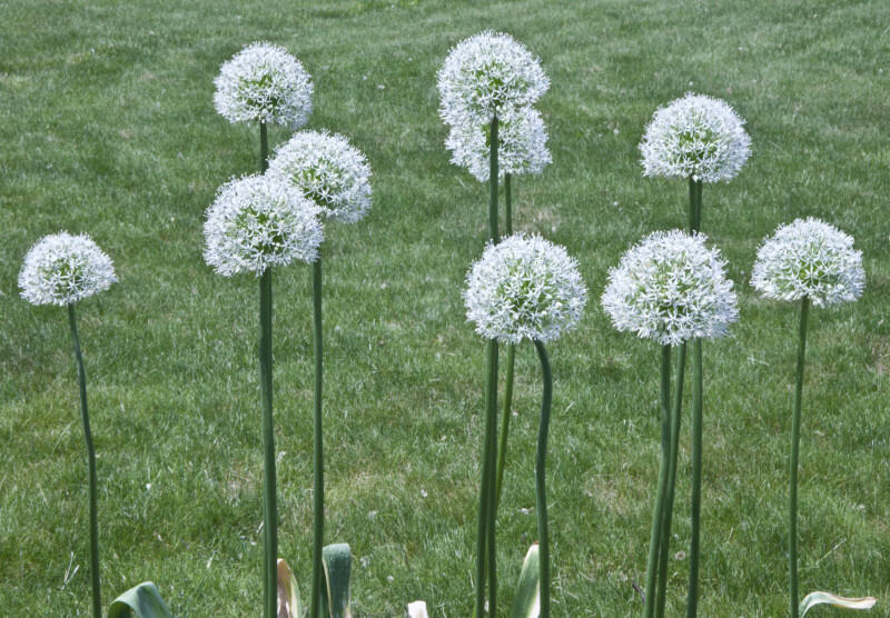 Allium White Flowers