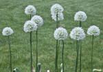 Allium White Flowers