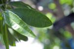 Allspice Leaves