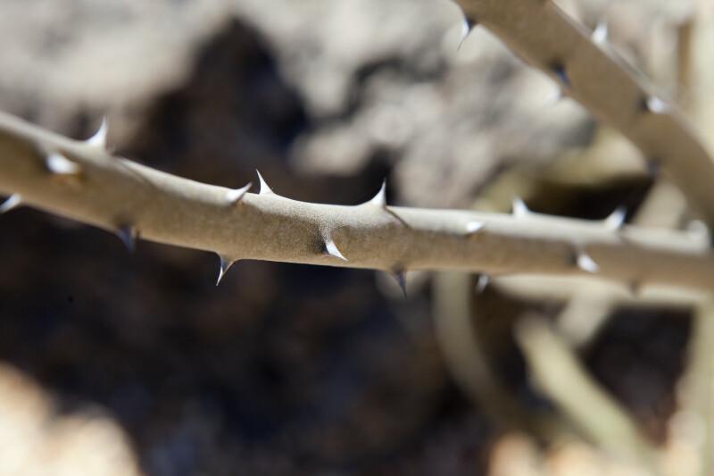 Alluaudia dumosa Branch