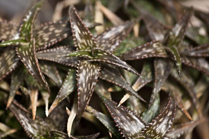 Aloe Jucunda Close-Up