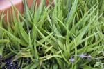 Aloe Plant Leaves