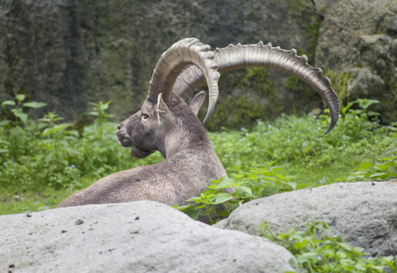 Alpine Ibex Horns