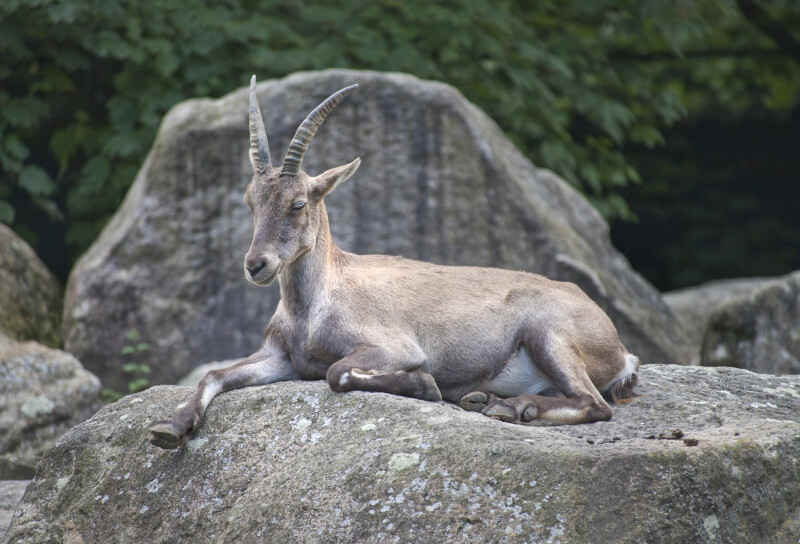 Alpine Ibex Resting