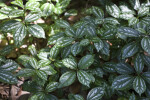 Aluminum Plant Leaves
