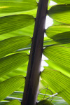 Amargo Palm Frond Up-Close