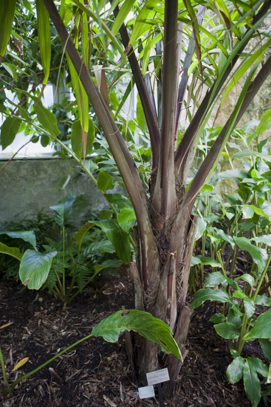Amargo Palm Trunk