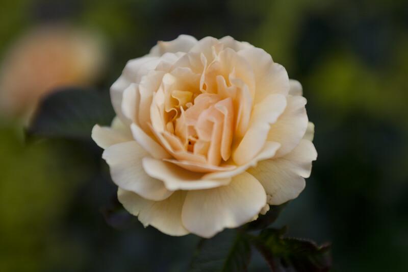 """Amber Queen"" Floribunda Rose"